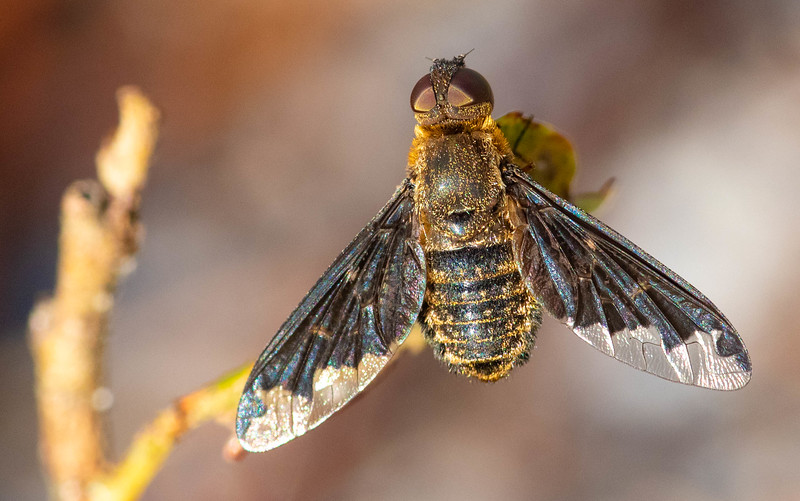 Hemipenthes Bee Fly