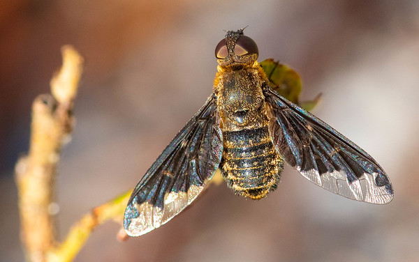 Hemipenthes Bee Flies