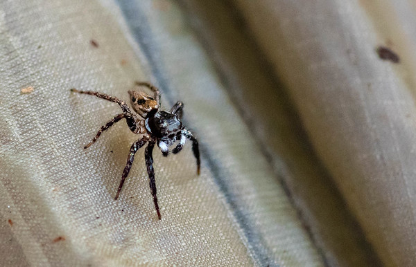 Twinflagged Jumping Spider