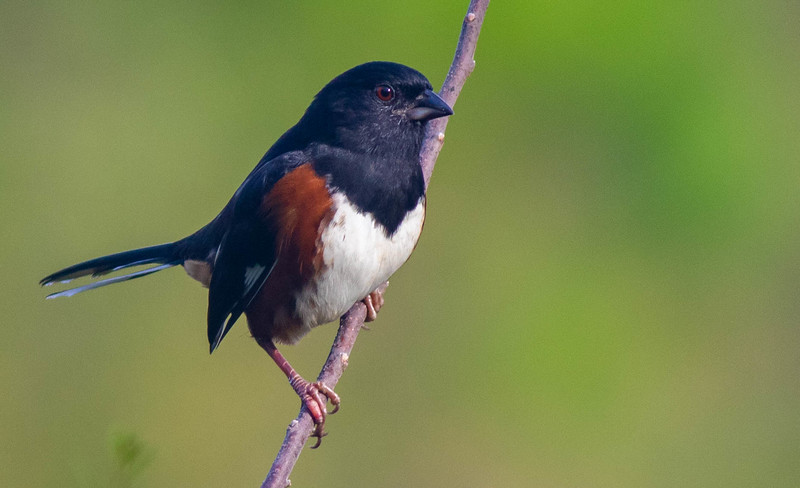 Eastern Towhee (Red-eyed)