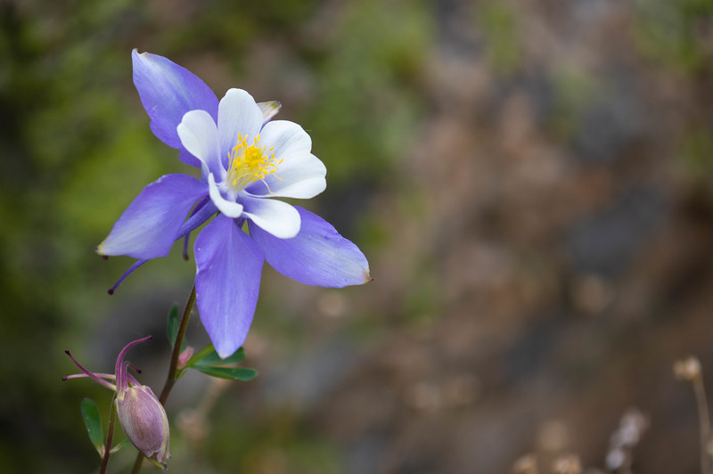 Colorado Blue Colombine