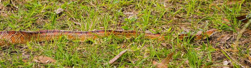 Red Rat Snake (Corn Snake)