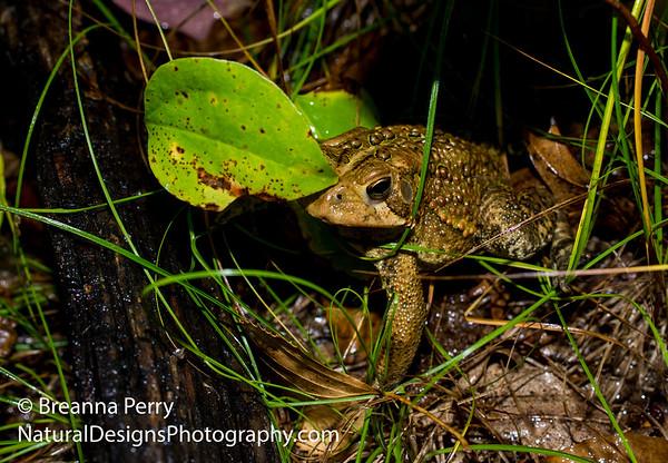 American Toad (MA)