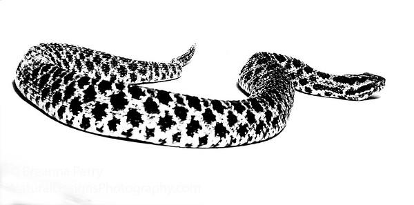 Pygmy Rattle Snake