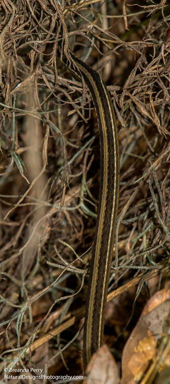Ribbon Snake (Garter Snake)