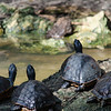 Group of Turtles