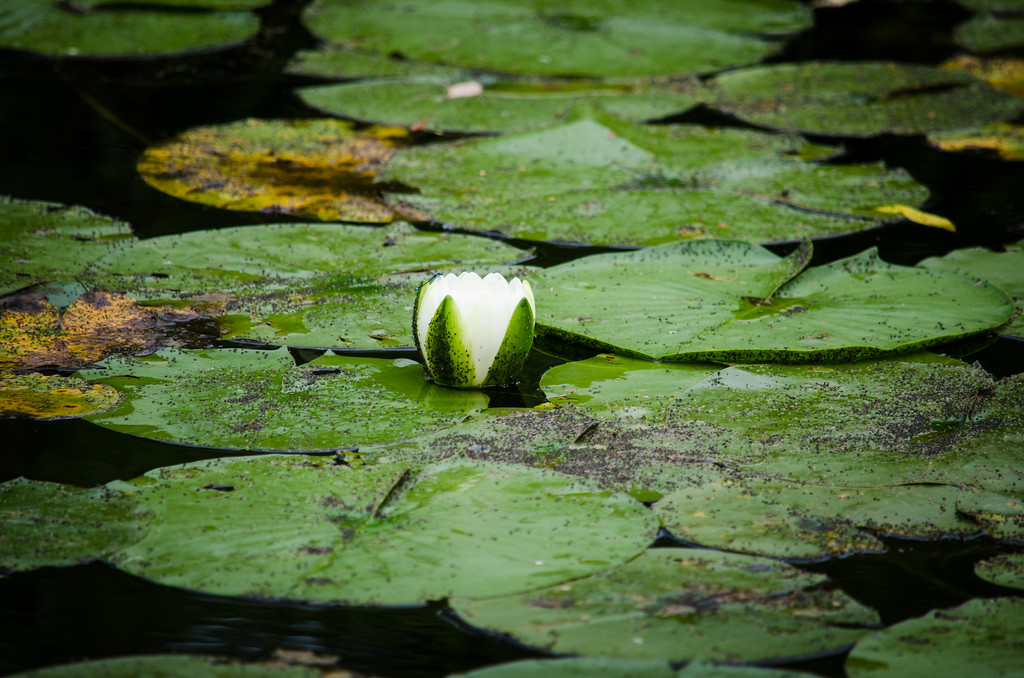 Picture of a small lily in water