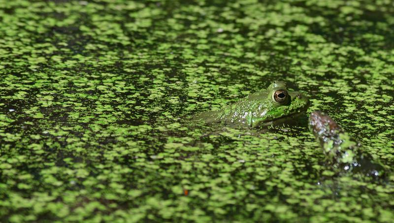 Frog blending in