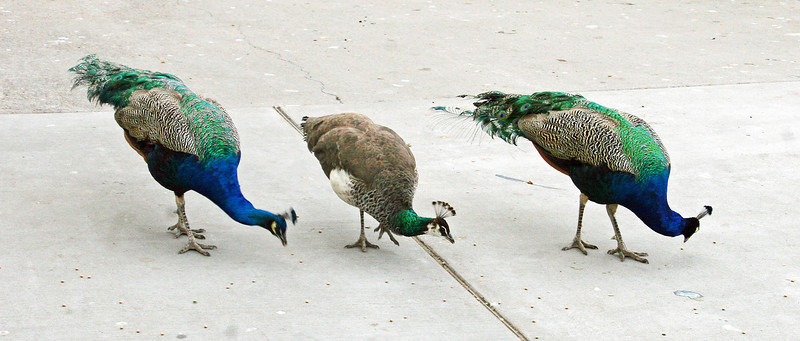 01.14.12<br /> <br /> (Well, it isn't ducks, but...) How to get your Peafowl all in a row.... feed them.<br /> <br /> It was too cold for the Sisterhood to feel like getting out of their bag at the zoo, but they did like the peafowl. After feeding them, we discovered that food is the way to a peacock's heart. We had six of the peafowl stalking us around the zoo.<br /> <br /> ETA: The one in the middle is a peahen. The male are brightly colored with the amazing plumage. The girls are more brown and don't have the huge fanned tail feathers.