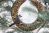 2015-12-24: The songbirds are enjoying the Peanut Ring. Best birthday present ever.