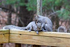 2015-12-15: These two squirrels spent the better part of two hours chasing each other all over the east deck and yard. During a moment of respite from the running they engaged in some mutual grooming.