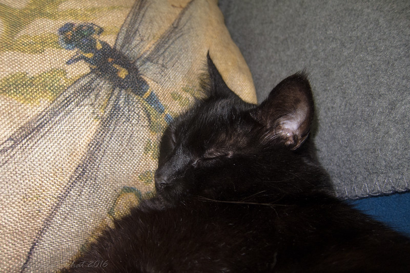 2016-07-13: With temperatures in the 90's, it has been much cooler in the apartment than outside. #notmycat (soon to be rebranded Mr. Nero Pisello Dolce) has been chillin' on the couch with his favorite pillow.