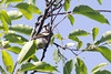 2016-06-26: Chestnut sided warbler at Half Moon State Park.