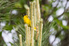2016-06-10: Male yellow warbler at the top of a small tree.