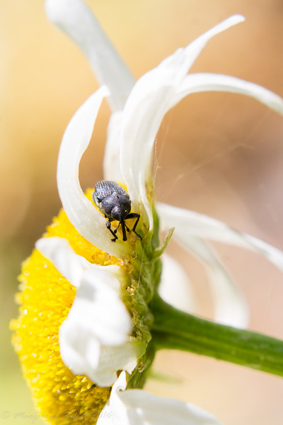 2016-07-17: The weevils aren't just on the Queen Anne's Lace, I have also been seeing them on the daisies.
