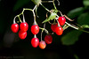 2016-09-17: Nightshade berries