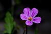 2016-06-23: Wild geranium.