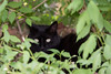 2016-07-07: Beware! There is a panther in the undergrowth and he is watching you.
