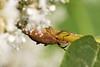 2016-09-05: Weevil on the knotweed