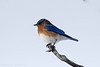 2016-12-23: Eastern bluebird out of season