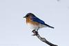 2016-12-23: Eastern bluebird out of season