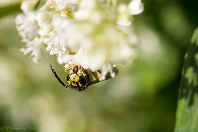 2016-09-04: Portrait of a yellowjacket