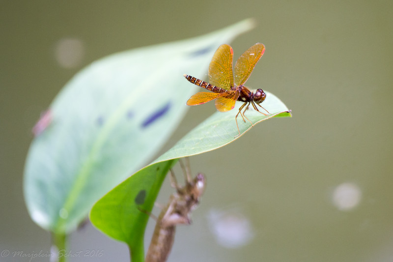2016-07-11: Eastern amberwing perched on a leaf above the nymphal cast off of a much larger dragon.