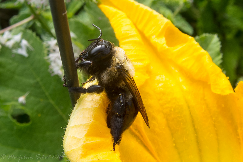 2016-08-14 Honey bee on a pumpkin flower