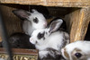 2016-08-12: Pile of young rabbits.