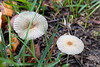 2016-08-02: We got a little rain (not nearly enough) and some mushrooms appeared.