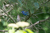 2016-07-14: A pair of indigo buntings stopped by the yard today.