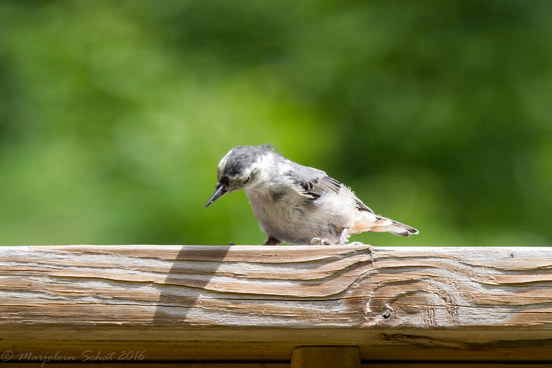2016-08-07: young white breasted nuthatch evaluating the food holding potential of the deck railing.