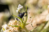 2016-07-15: I've been seeing lots of these weevils on the Queen Anne's Lace around the yard lately.