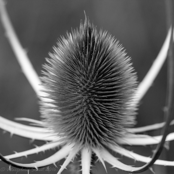 2016-07-18: Teasel: a study in black and white