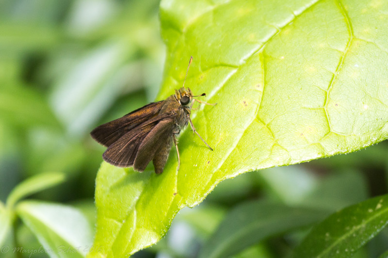 2016-07-12: Skipper in the garden.