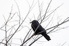 2016-12-22: Still life with crow