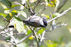 2016-09-13: Black capped chickadee