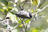 2016-09-13: Black capped chickadee
