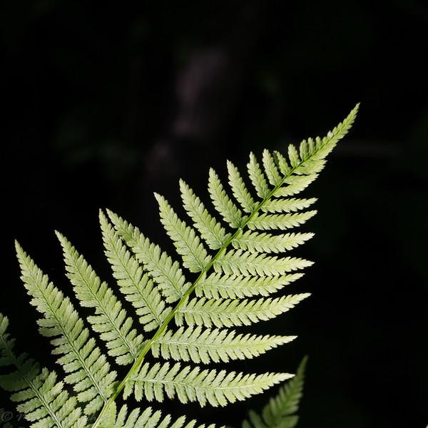 2016-06-24: A fern frond