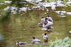 2016-08-17: Flock of common mergansers in the backyard creek
