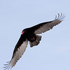 2016-12-21: Turkey vulture on the wing
