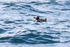 2016-06-30: Atlantic puffin off East Egg Island.
