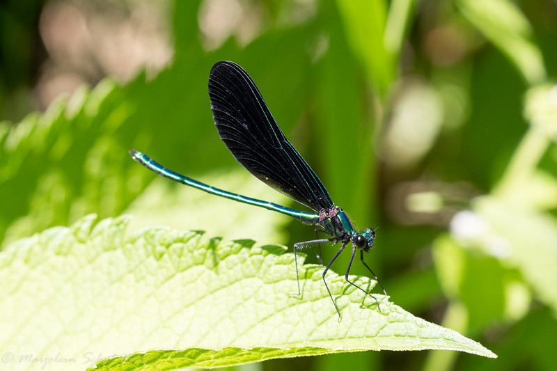 2016-08-06: I am super excited to have ebony jewel wings along the banks of the backyard creek.
