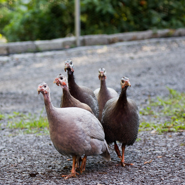 2016-08-20: The posse of guinea fowl terrorizes the neighborhood cats