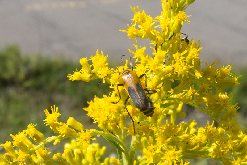 2016-08-29: Beetle on the goldenrod