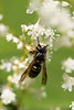 2016-09-01: Yellowjacket on the Japanese knotweed