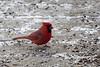 2016-12-11: Male cardinal