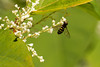 2016-09-02: Syrphid fly on the knotweed