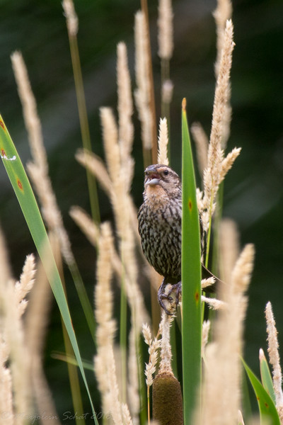 2016-07-05: This female red-winged blackbird was giving me an earful when I got too close to where her nest was.