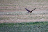 2016-12-27: Northern harrier on the wing